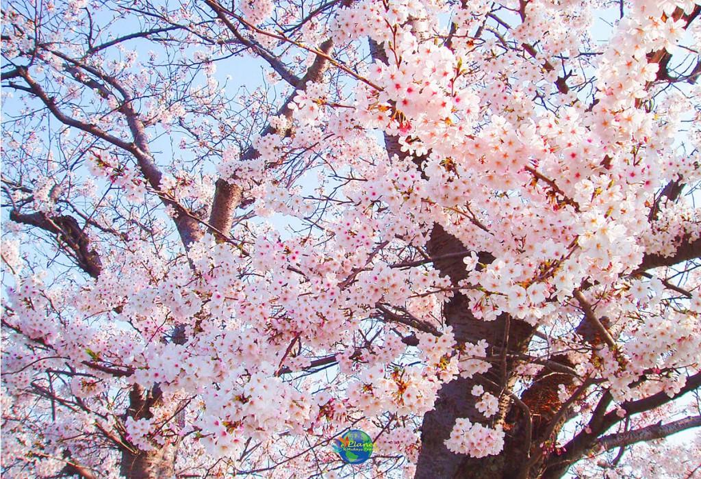เทศกาลคาวาสึซากุระ 6