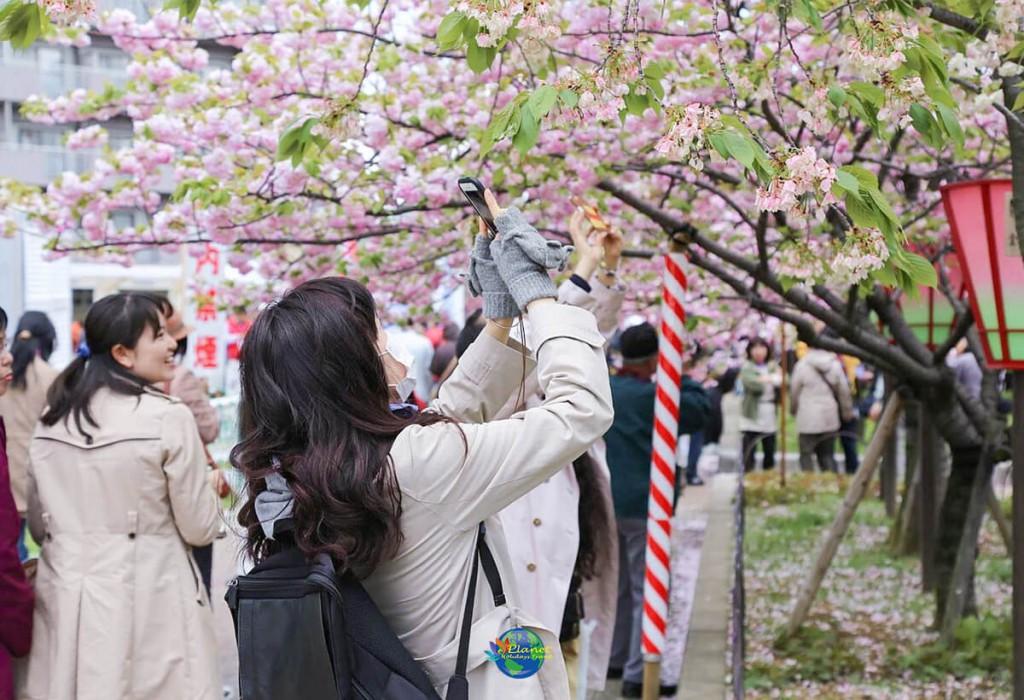เทศกาลคาวาสึซากุระ 8