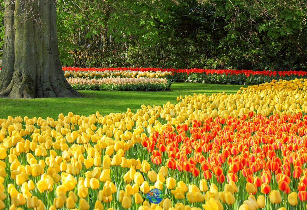 เทศกาลดอกทิวลิป 10