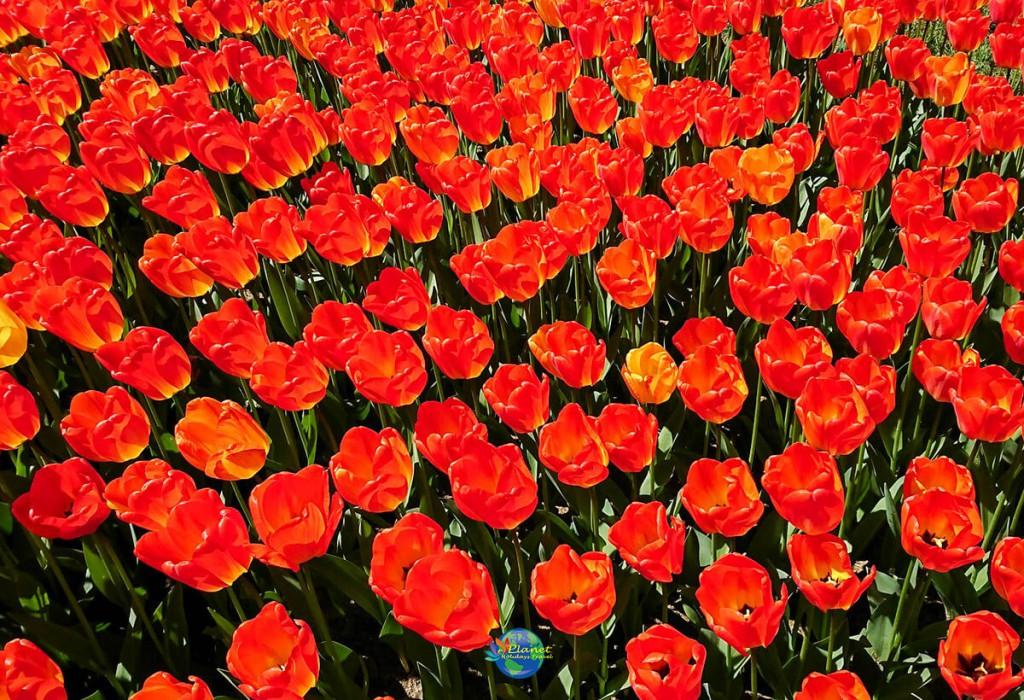 เทศกาลดอกทิวลิป 11