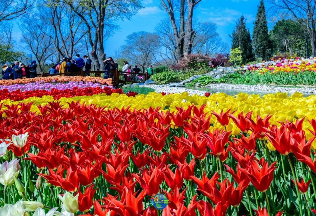เทศกาลดอกทิวลิป 12
