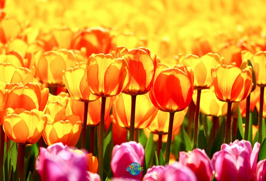 เทศกาลดอกทิวลิป 3