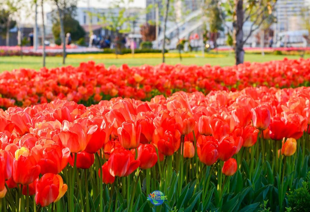 เทศกาลดอกทิวลิป 4