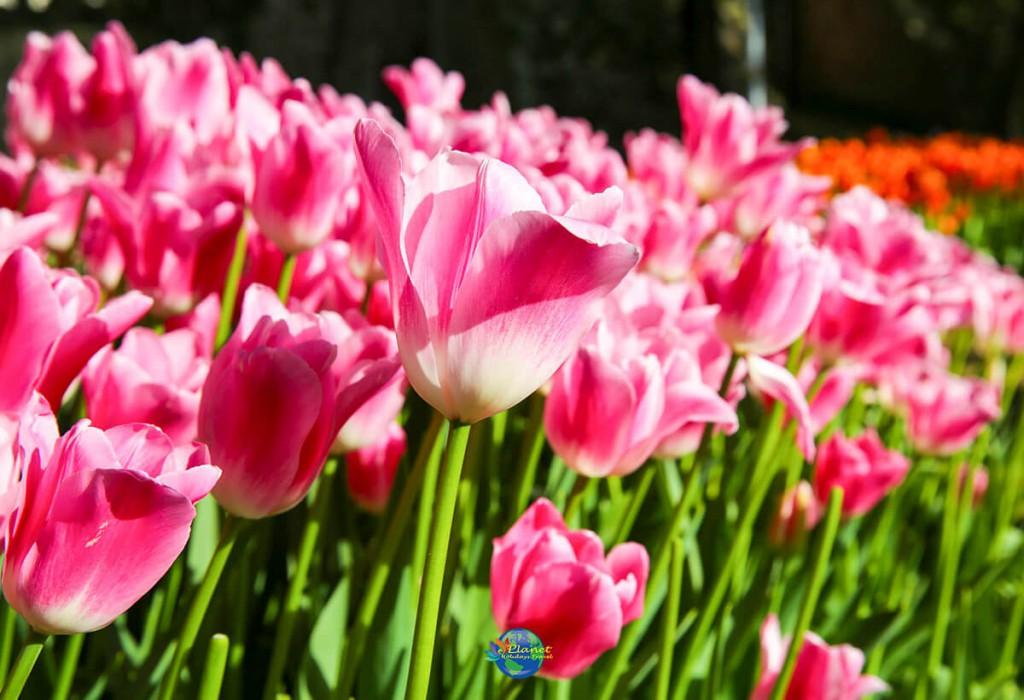 เทศกาลดอกทิวลิป 6