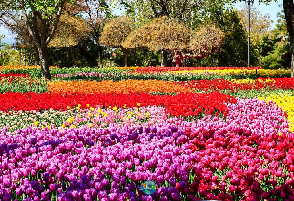 เทศกาลดอกทิวลิป 9