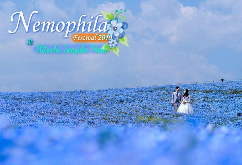 เทศกาลทุ่งดอกเนโมฟีลา