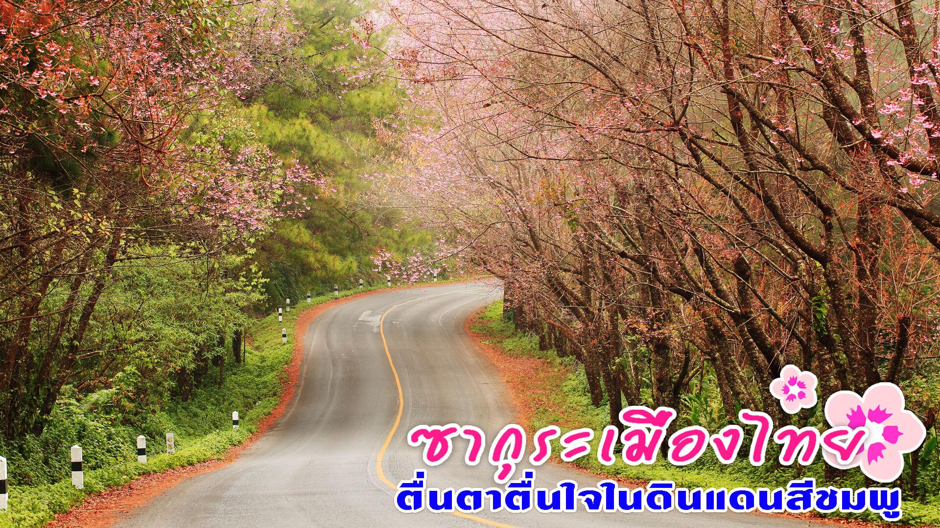 ซากุระเมืองไทย